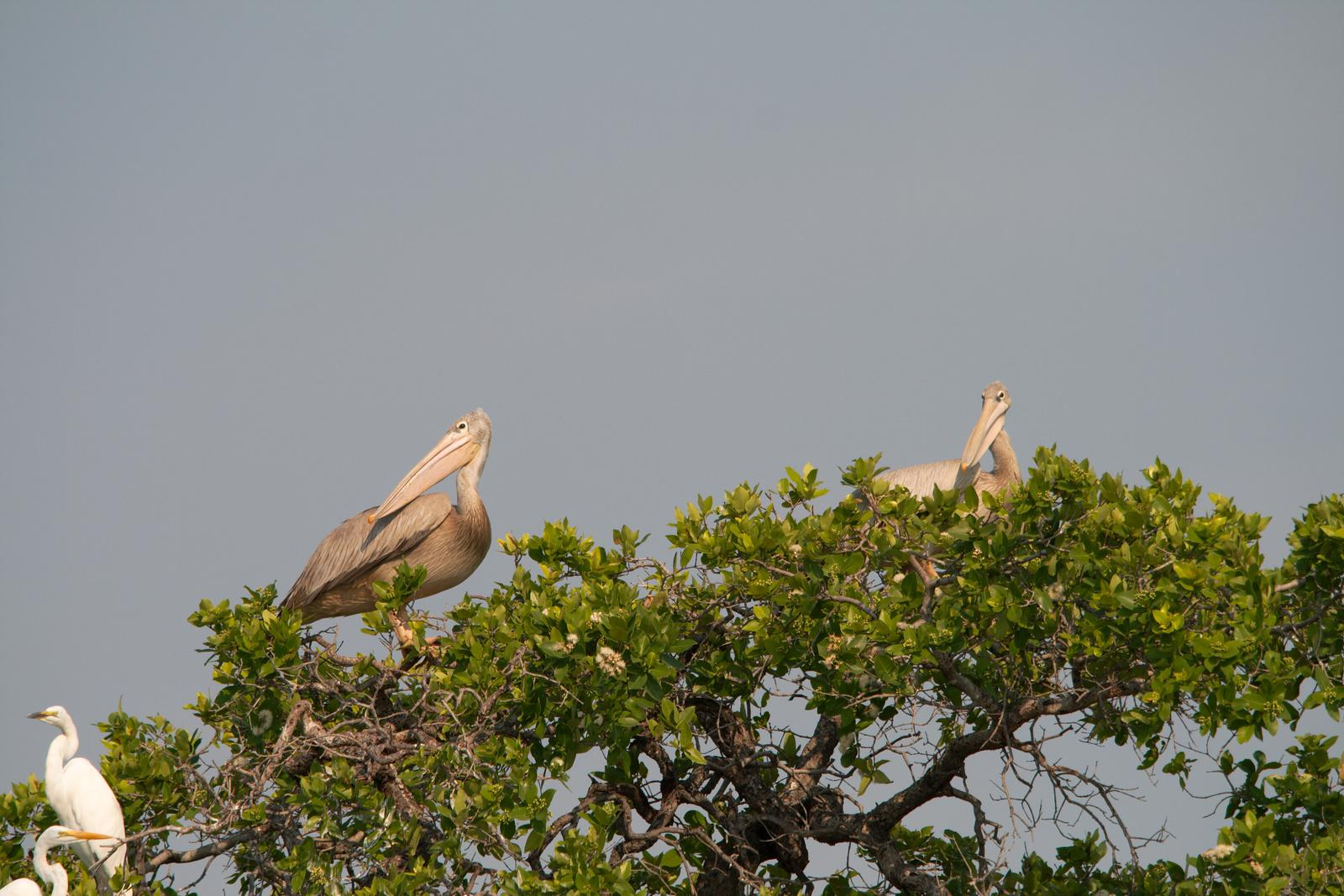Pelicans in tree in Botswana