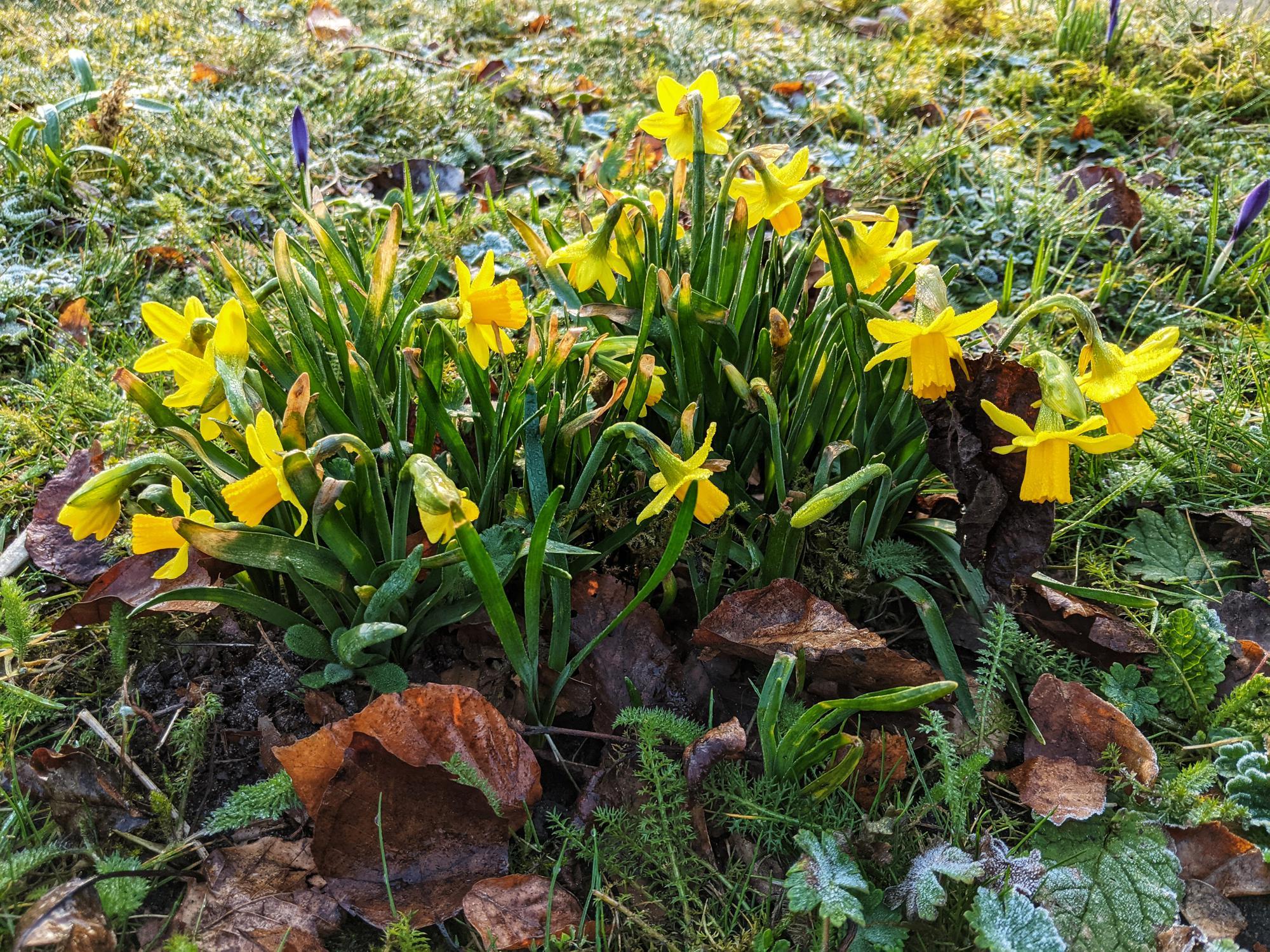 Crocus and daffodil flowers